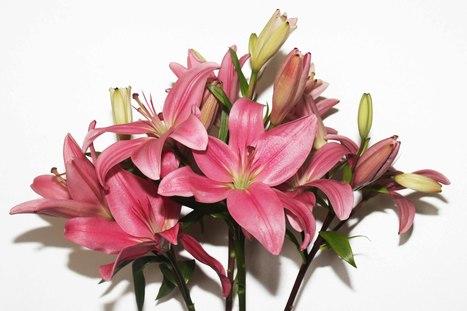 Liliesinatube: Online Flower Delivery Service Australia | Lili Flowers | Scoop.it