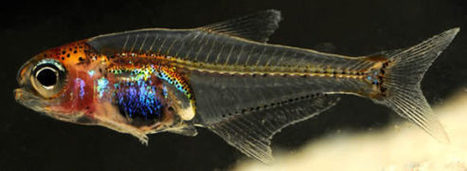 New Species, Genus of Transparent Fish Found in Amazon | Biology | Sci-News.com | Wildlife Trust of South and West Wales | Scoop.it