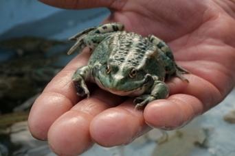 """Un poissonnier a inventé la grenouille """"made in France""""   aquacultures   Scoop.it"""