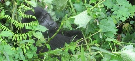 Uganda tours   Africa Travel   Wildlife safaris   Gorilla Trek Safaris   Uganda Travel Ideas   Scoop.it
