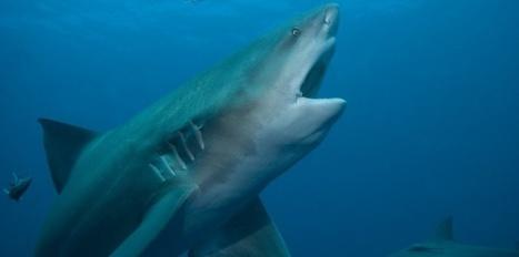 Les requins coulent dans l'eau douce - Sciences et Avenir | Dans mon sac de plouf | Scoop.it