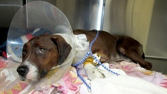 Kane County Chronicle | Dog hit by car in Geneva to be moved for further care | Fox Valley Talking | Scoop.it