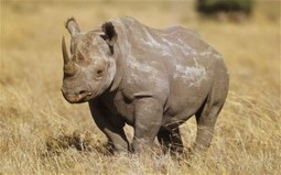 Rhino Poaching in Zimbabwe Has More Than Doubled Since Last Year | What's Happening to Africa's Rhino? | Scoop.it