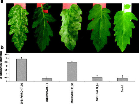 Monocot and dicot MLO powdery mildew susceptibility factors are functionally conserved in spite of the evolution of class-specific molecular features | Plant-Microbe Interaction | Scoop.it
