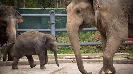 Oregon Zoo's baby elephant meets dad for first time - KPTV.com | Oregon Zoo Babies | Scoop.it