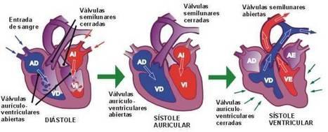 El corazón late solo   Lup-Dup: el ritmo de mi corazón   Biologia Humana   Scoop.it