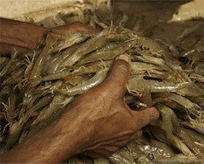 Sharp drop in shrimp fishing coming up - FIS | Aquaculture (Global Aqua Link) | Scoop.it