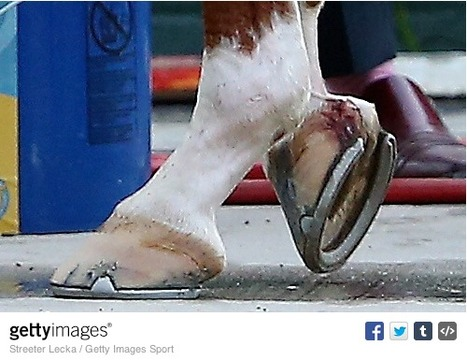 Triple Crown Hindsight: California Chrome's Hoof Bulb Injury in Pictures | Horse Racing News | Scoop.it