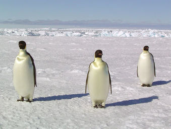 NSIDC Press Room: Study: Global climate trends threaten Antarctic penguins | Theme 3: Resources & the Environment | Scoop.it