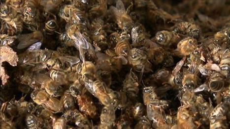 Reportage disparition des abeilles - ICI Radio-Canada.ca | Abeilles, intoxications et informations | Scoop.it