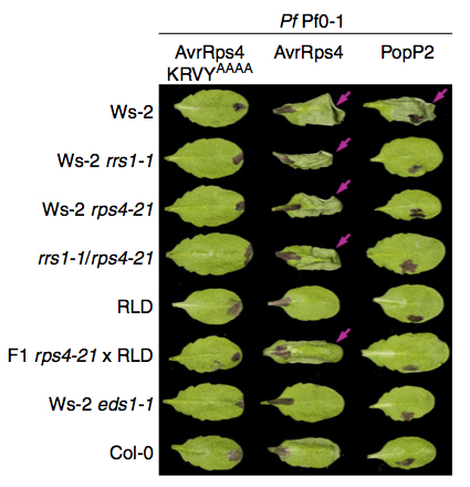 Nature Comms: Two linked pairs of Arabidopsis TNL resistance genes independently confer recognition of bacterial effector AvrRps4 (2015) | Effectors and Plant Immunity | Scoop.it