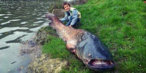 Casseneuil (47) : un silure de 2,33 m pêché dans le Lot | Scoop des Histoires Naturelles | Scoop.it