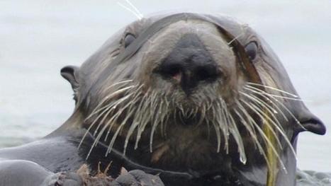 Les loutres de mer au secours d'un estuaire menacé | Espaces naturels littoraux | Scoop.it