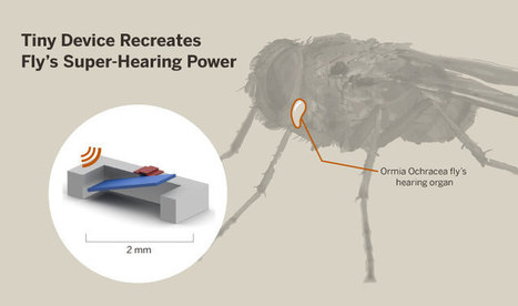 A Fly With Unique 'Ears' Becomes Inspiration For New Hearing Aid | Sustainable Futures | Scoop.it
