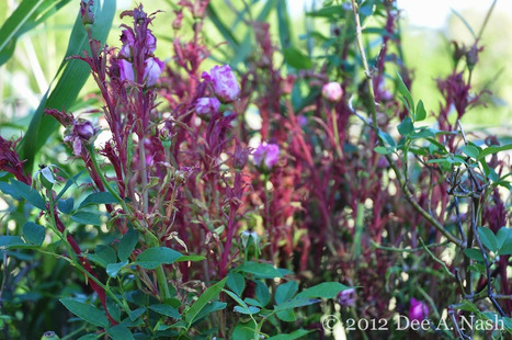 Rose Rosette Disease and Oklahoma - Red Dirt Ramblings® | Annie Haven | Haven Brand | Scoop.it