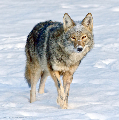 Coyote finds old dog toy, acts like a puppy | animals and prosocial capacities | Scoop.it
