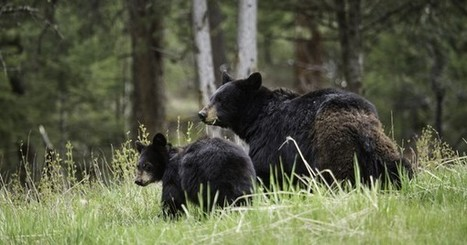 Florida wildlife commission postpones bear hunting in 2016 | CLOVER ENTERPRISES ''THE ENTERTAINMENT OF CHOICE'' | Scoop.it