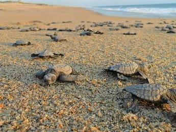 Ecoturismo en México: liberación de tortugas marinas   Ecoturismo   Scoop.it