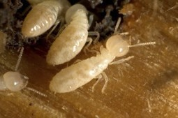 Know Your Enemy - Termite Control Tips | Crown Pest Control | Pest Inspection and Treatment in NC | Scoop.it