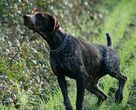 Cani da caccia: ecco le malattie a cui fare attenzione   Bau Bau News - Amici a 4 Zampe   Scoop.it