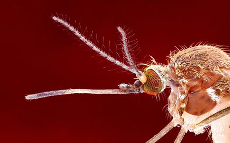 Des experts brésiliens étudient si le moustique commun transmet aussi le virus Zika / Brazilian experts investigate if 'common mosquito' is transmitting zika virus | EntomoNews | Scoop.it