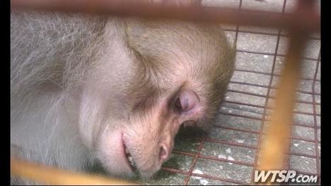 'Mystery Monkey' of Tampa Bay, Florida that attacked grandmother is caught after 2 years | Animal Science | Scoop.it