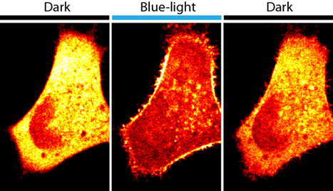 A flash of blue light changes cellular activity — and understanding of disease | Amazing Science | Scoop.it