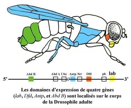 Le ver, la mouche et la souris : trois animaux d'intérêt pour la biologie du développement | Mes centres d'intérêts | Scoop.it