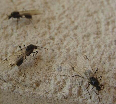 La lluvia y el calor traen grandes concentraciones de hormigas aladas - El Día de Valladolid | mishormigas.wordpress.com | Scoop.it