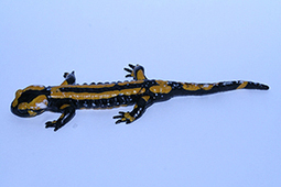 Amphibians.org   REPTILICIOUS   Scoop.it