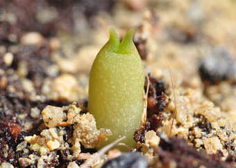 Growing Echinocactus polycephalus and Echinocactus horizonthalonius from seed | The Lophophora Blog | Scoop.it