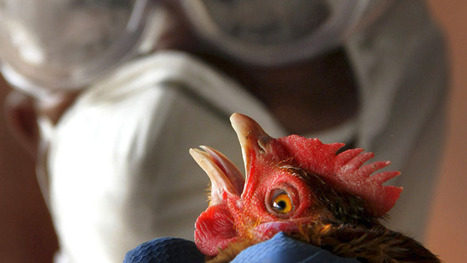 Man-made bird flu paper published after controversy - Technology & Science - CBC News   Internet Marketing Brain Candy   Scoop.it
