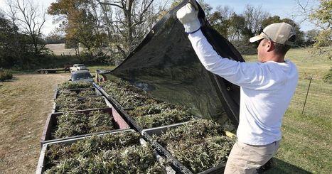 Farmers embrace hemp industry | GMOs & FOOD, WATER & SOIL MATTERS | Scoop.it