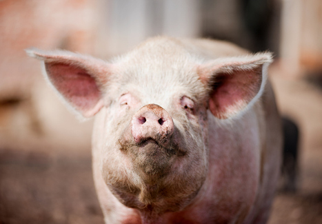 Look who's squealing now: GMO lovers freak over new study of sick pigs | Johnny's interests! | Scoop.it