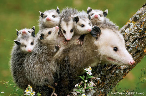Give Opossums a Break - National Wildlife Federation | Farming, Forests, Water, Fishing and Environment | Scoop.it
