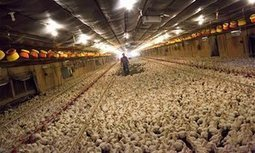 Factory farming divestment: what you need to know | OrganicNews | Scoop.it