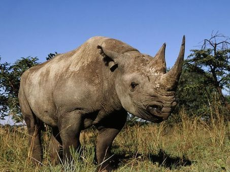 Iowa taxidermist pleads guilty to rhino horn trafficking | What's Happening to Africa's Rhino? | Scoop.it