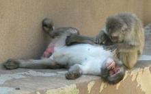 Monkeys go out on a limb to show gratitude : Nature News | world news | Scoop.it