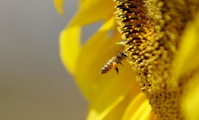 "Guardian: ""Bee-harming pesticides should be banned, MPs urge"" 