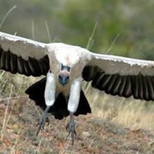 Alarm raised on vulture poisoning - News - nation.co.ke | Vulture Love | Scoop.it