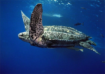 Victory! Pacific Leatherbacks Gain Protected Habitat | The Beacon: Oceana's Blog | Be Productive | Scoop.it