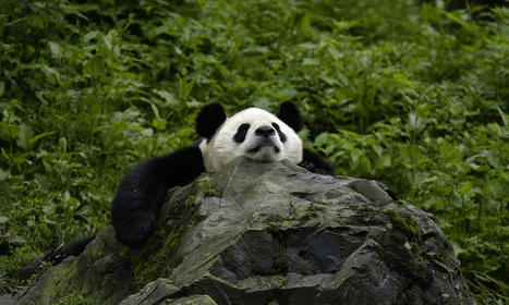 Giant Panda | Species | WWF | conservation on giant panda | Scoop.it