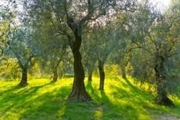 Xylella fastidiosa: nuovo studio italiano ne evidenzia i rischi | Co-creation in health | Scoop.it