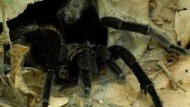 Las tarántulas y su relación con los seres humanos | Bichos en Clase | Scoop.it