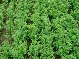 Alfalfa   Alfalfa   Scoop.it