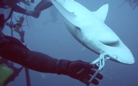 Divers pull fishing hook from jaws of 6ft shark | GarryRogers NatCon News | Scoop.it