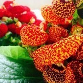 La Calceolaria, il fiore invernale più bello | Mangialafoglia | Scoop.it