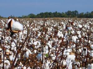 Coton OGM au Burkina : l'AICB réclame FCFA 48,3 milliards à Monsanto   Questions de développement ...   Scoop.it