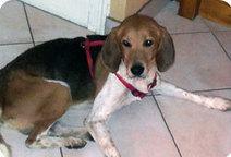 Un beagle survit à de graves blessures   Beagle   Scoop.it