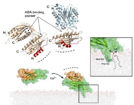 C2-domain Abscisic acid-Related (CAR) proteins mediate the interaction of ABA receptors with the plasma membrane | Plant Biology Teaching Resources (Higher Education) | Scoop.it